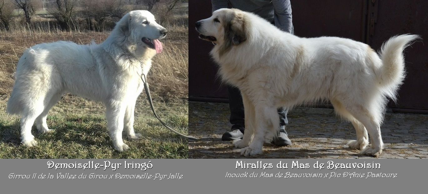 Miralles is father of puppies in Hungary